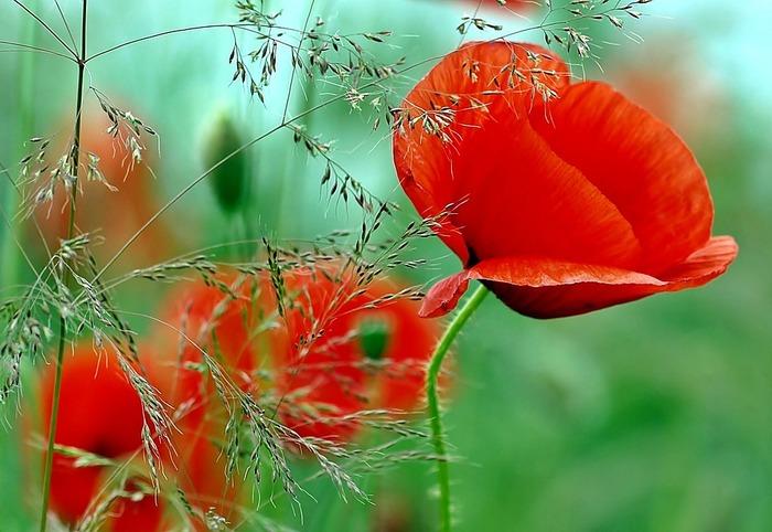 野に咲くコクリコは、そのままの自然の風景の中でこそ美しい花。生け花にはできない、か弱き花なのです。ミッシェル・アンリはそれをよく知っていました。だからこそ命の輝きを絵の中に写し込んだのですね。ミッシェル・アンリの絵を通して感じることがあったでしょうか?画家のマジックは、コクリコに限らず私たちの心と体にも強いエネルギーを与えてくれます。それもまた嬉しいマジックというわけですね!
