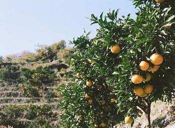 愛媛県にある無茶々園は、みかんの有機栽培をはじめて40年。経済が発展して時代が変わりながらも昔ながらの日本の良さを生かして、未来と共存していく。このポリシーをもとに無茶々園で育った伊予柑は農薬や化学肥料に頼らず、すべて人の手て育てられます。そんな人の愛情がこもった伊予柑をベースに作られているのが「yaetoco 家族洗顔石鹸」です。