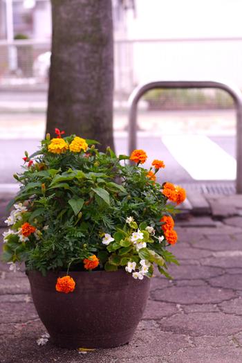街を歩いていても、こんなに素敵な寄せ植えが。これは何のお花かな?と調べるキッカケだったり、作り方の参考にしてみたり。