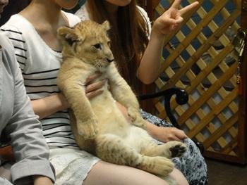 時にはライオンの赤ちゃんとも触れ合える事も。ぬいぐるみのようでとっても可愛いです。
