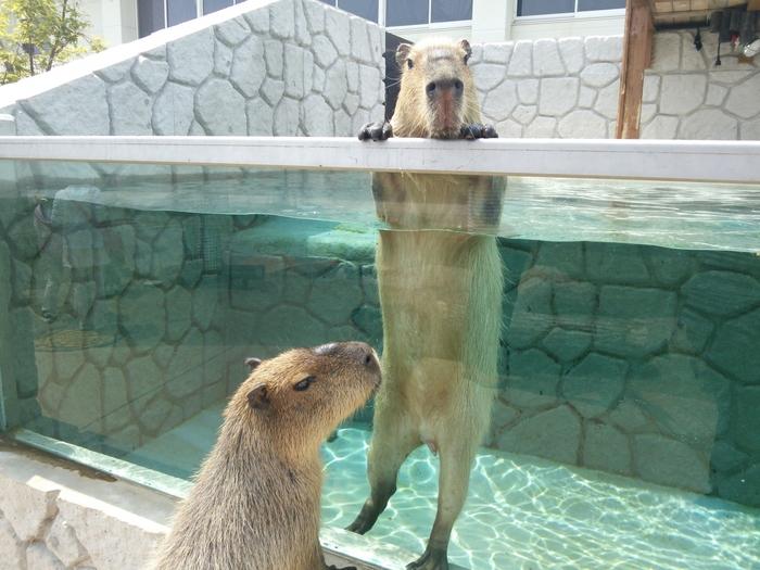 人気のカピパラもお出迎え。冬になると温泉仕様。4時間以上の長風呂の子もいるのです。