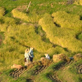 白米千枚田では、敷地が狭く機械が入れないため、すべて地元住民とボランティアの手作業で行われています。美しい景観を後世に伝えるために、田んぼのオーナー制度なども導入し、ともに田植え、草刈り、稲刈りなども行ってます。
