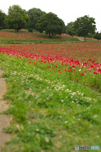 「国立昭和記念公園」東京都・・・3月〜5月の下旬にかけて赤いコクリコが開花します。