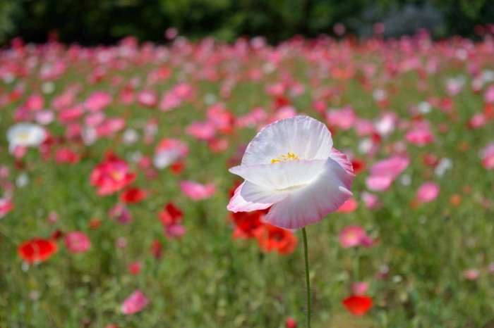 「大阪市立長居植物園」大阪市・・・広さ24.2haある緑に囲まれた都会のオアシスです。自然史博物館と一体の植物園では、昔から現代までの大阪に生息した植物の移り変わりを知ると共に、大阪の自然について様々な観点から学ぶことができます。コクリコの季節の春に訪れてみませんか?