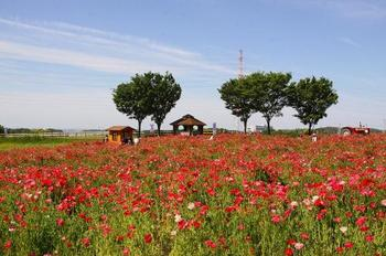 「愛知牧場」愛知県・・・ひなげしの花畑は牧場の奥(端)にあります。他にも、春は菜の花、夏はひまわり、秋のコスモスなどが綺麗です。
