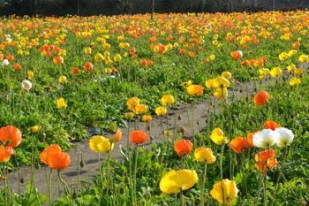 「ポピーの里 館山ファミリーパーク」千葉県・・・南房では花摘みを楽しめる美しい場所が各所にあります。中でも館山ファミリーパークは、年間を通し季節ごとの花摘みが楽しめる場所です。ポピーを始め、他にも、ひまわり、キンギョソウ、ストックの花摘みが出来ますよ。
