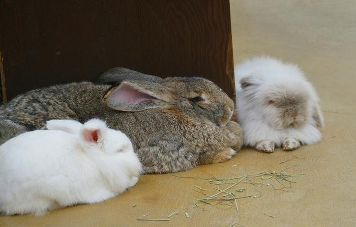 コンタクトアニマルズでは、ウサギやモルモットなどの小動物とのふれあいを楽しむことができます。ぬいぐるみのようなウサギの仕草は見ているだけで訪れる人々を癒してくれます。