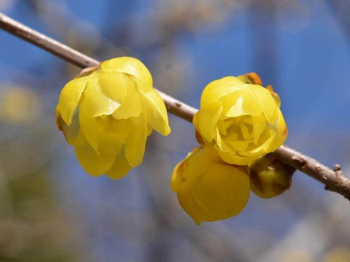 透明感のある花弁に豊かな香りが魅力の蠟梅も今が見ごろ。風に乗る香りに春の訪れを感じられます。