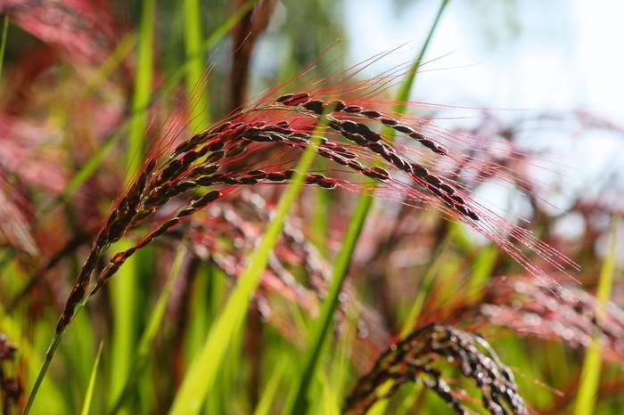 日本に最初に伝わったお米と言われている赤米です。  稲が頭を垂れる頃、田んぼは赤米の稲の色に染まり実りの秋を迎えます。