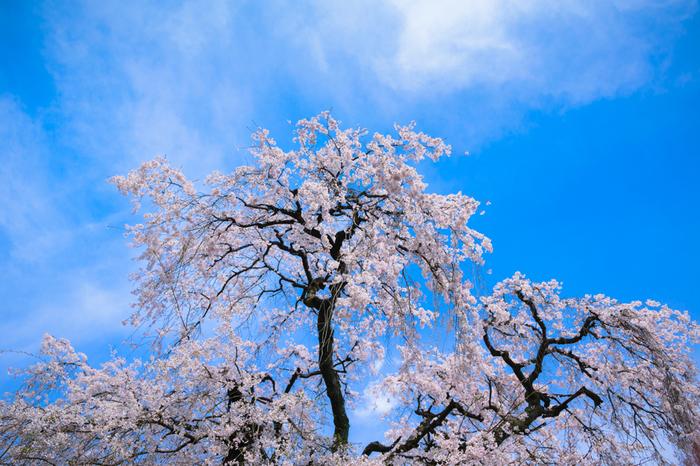 関西花の寺二十五霊場21番となっている當麻寺では四季折々で美しい花々を観賞することができます。春が訪れる頃、境内の枝垂桜が満開に花を咲かせ、まるで浮世絵のような景色が広がります。