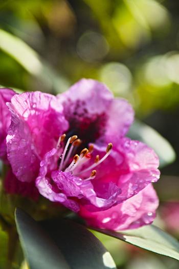 當麻寺では、凛とした佇まいと気品ある美しさで人々を魅了するシャクナゲを見ることができます。初夏にかけて咲くイメージがあるシャクナゲですが、當麻寺では秋にも花を咲かせるシャクナゲが植栽されており、四季折々で美しい花々を観賞することができます。
