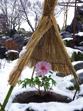 4月中旬から5月にかけて見ごろを迎えるイメージがある牡丹ですが、當麻寺では冬牡丹も栽培されています。雪に包まれた静かな庭園に、冬牡丹が大輪の花を咲かせる様は可憐で、思わず写真に収めたくなるほどです。