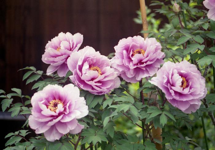 花の寺として有名な當麻寺の中でも牡丹の美しさは格別です。毎年春になると、大輪の花を咲かせた牡丹が庭園の美しさを引き立てています。