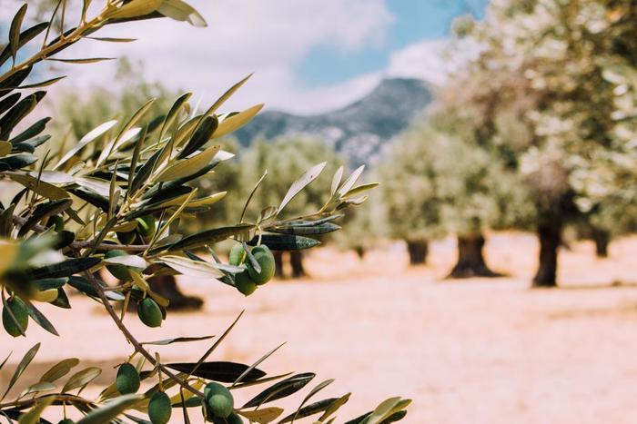 オリーブに実がつくには、2本以上の木が必要になります。その時に違う品種のものを交配した方が、結実の成功率が高いと言われています。屋外の場合は、近隣のオリーブと自然に交配する可能性もありますが、室内の場合には違う品種の木が2本必要です。オリーブには、沢山の品種がありますので、お好みを探してみるのも楽しいかもしれません。