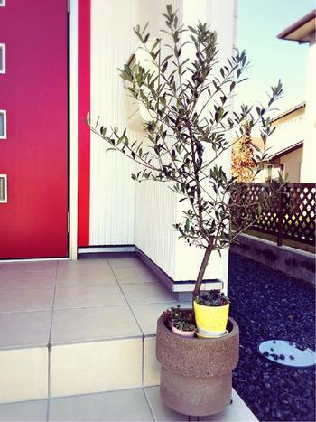 もちろん鉢植えとしてお玄関前に置いても◎。