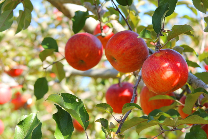 「1日1個で医者いらず」なんて言葉があるくらい、りんごは体にやさしい果物!子供の頃に風邪をひくとりんごをすりおろしてもらったこと、ありませんか?そのまましゃりしゃりと食べるよりも、すりおろしたり火を入れたりしたほうがもっとおなかに優しくなりますよ♪