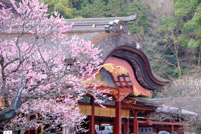 太宰府天満宮は梅の名所としても有名です。梅の見頃は2月中旬から3月上旬で、200種類・6000本の梅が咲き誇ります。なかでも有名なのがご神木である「飛梅」。本殿の右にある飛梅は菅原道真が左遷されたときに京都から飛んできたと言い伝えられている梅で1000年以上も咲き続けています。