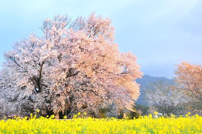樹齢400年を誇る、圧倒的な大きさの「一心行の大桜」。高さは約14m、幅は21m~26m、幹囲は7mもあるそうです。  毎年、桜の開花時期にはたくさんの人が訪れる人気のスポット。黄色い菜の花と薄紅色の桜がとっても綺麗!