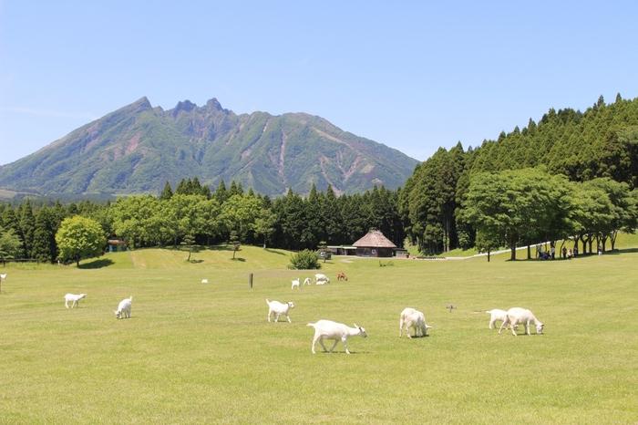 のどかな風景が広がる、阿蘇五岳が一望できる南阿蘇・高森の月廻り公園。ハイジのユキちゃんみたいなヤギ達が放し飼いされているそうです♪