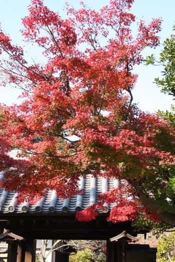 鎌倉は、日当たりがいい場所と、谷が深い場所があるため、環境によって紅葉の時期は少しずれることがあるようです。北鎌倉エリアの方が若干早く、海側エリアの方が遅く色づきます。勤労感謝の日を目安に予定を立てると、いずれかのエリアで楽しめそうです。