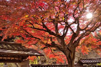 境内のあちこちで紅葉を楽しむことができます。特に、本堂前にあるも紅葉の木は有名で、枝ぶりも良く、形もきれい。赤く染まり、仏像と重なる景色は圧巻です。