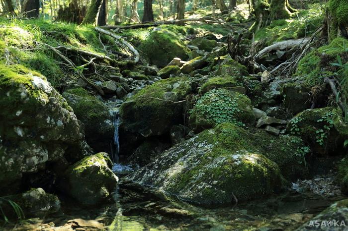 約650種類以上もの苔が生息している「大台ヶ原」。その数は屋久島を超えるとも言われているほど豊富なんです。