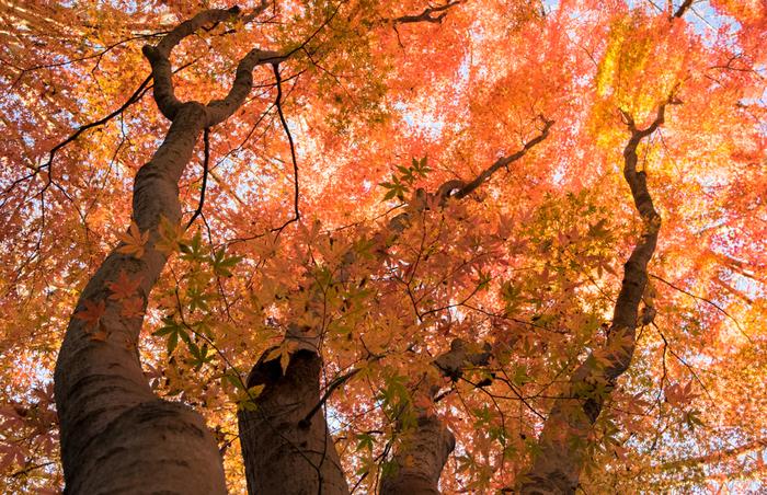 鎌倉上級者におすすめなのが、鎌倉で一番美しいと言われている紅葉スポット「獅子舞の谷」。鎌倉アルプスとも呼ばれている天園ハイキングコースの途中にある、なかなかの難関スポットです。コースの入口は様々ですが、獅子舞の谷へのルートは、大塔宮から入るのが最も近道です。