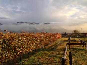 ここシャトーメルシャンでは、欧米では一般的なブドウ栽培方法である「垣根仕立て」でブドウを栽培しています。四季折々の雰囲気が楽しめてとても美しいですよね。