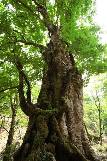 森全体が高い湿度でおおわれているため、樹齢百余年を超える木々にも立派な苔を観察することができます。