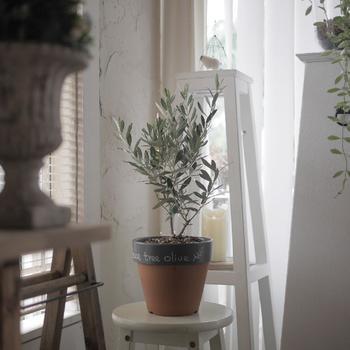 オリーブの木いかがでしたか? さらさらとした葉と、太すぎない幹が印象的なオリーブの木。カットの方法によっても印象が変るのも魅力ですね。コツを掴めばそれほど手もかからないので、ワンランク上のインテリアコーディネートを目指して、お部屋で育ててみませんか?まずは卓上サイズの小さめの木から育ててみるのも良いかも知れませんね。