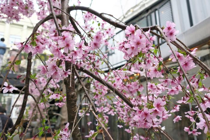 しだれ桜のコンテナに彩られたテラスでは、お茶とお菓子を楽しむ「さくら茶会」の席が設けられました。