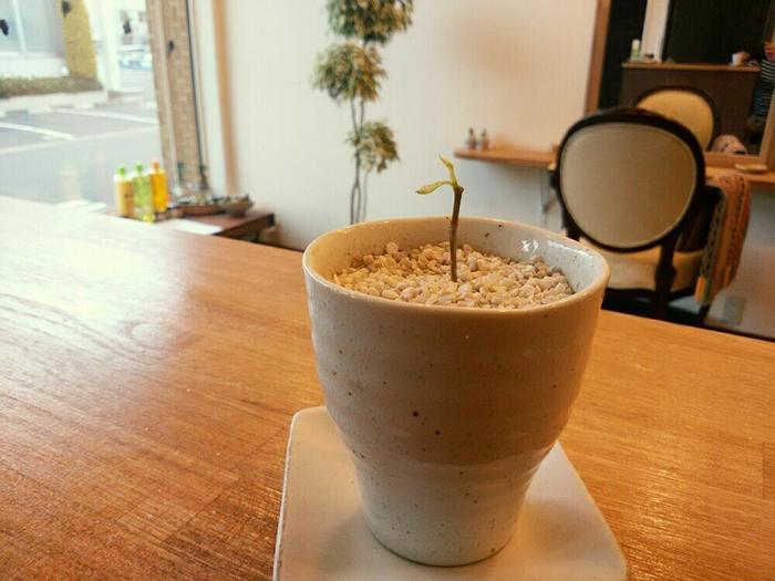 整えるために剪定した枝を10cmほどの長さにカットして、切り口を斜めにカット(水揚げがしやすいように。さらに、切り口には市販の発根促進剤を塗ると◎)。そして、市販されている挿し木用の土などに挿します。新芽が出るまでに約2ヶ月ほどかかるうえ、失敗することも多いようなので、あまり期待せず気長に待ちましょう。剪定した枝をただ捨ててしまうのなら…という位が良いかも知れませんね。