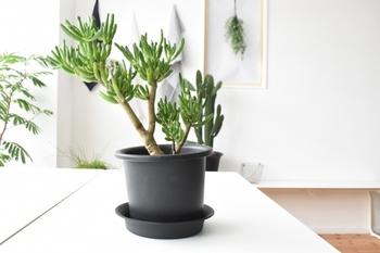 成長には時間がかかりますが、大きくなるとこんな姿になります!茎が木のように硬くなり、ちょっとした低木のよう。シックな鉢に植えると、盆栽のような渋みも出ますね。