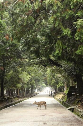 かつて藤原氏の貴族たちが、華やかな行列を整えて進んだという参道。