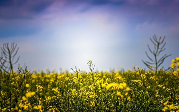 ①2分割構図 画面を縦横半分で分ける構図。よくあるのが、海と空を地平線で2分割した景色が代表的です。この地平線の高さを上にしたり、下にしたりすることで写真の印象を変えることができます。  この写真の場合は、菜の花畑と空との境界線がラインになります。
