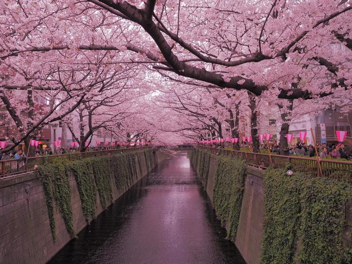 目黒川沿いを歩いてカフェまで向かう道のりも満開の桜が楽しめます。