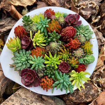 多肉植物の代表的な存在と言える「セダム」。小さな葉っぱをたくさん連ねた可愛い姿が特徴です。その種類はなんと400種類以上!日差しや寒さに強いため、鉢植えはもちろん地植えにも適しています。