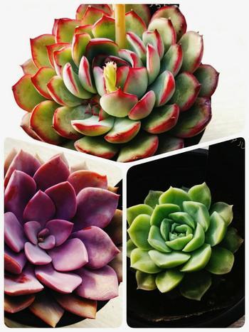 葉っぱがバラやダリアのように華やかな形をしている品種「エケベリア」。中南米を原産地としており、日の当たる場所を好みます。秋になると紅葉したり、春夏には葉の間から茎が伸びて花が咲いたりと、いろいろな変化を楽しめますよ。