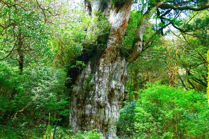 樹齢1000年以上のものを屋久杉と呼び、さらに3000年以上のものを縄文杉と呼びます。 ここにある杉の中には名前が付いているものもあるので、それぞれを見て周るのも良いですね!