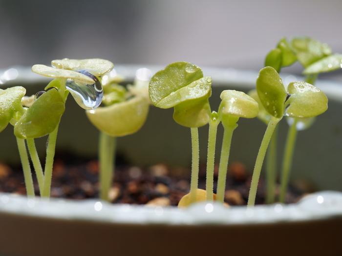 種を播いて1週間ほど。適度の水と温度、そして空気に恵まれてハーブの発芽です。小さな小さな種子の中にあった「生命」が地上に現れました。
