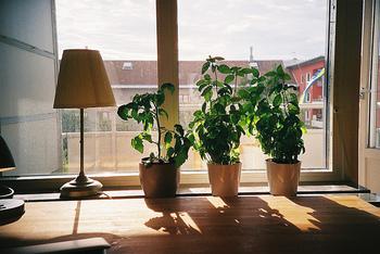 栽培中にはちょっとした観葉植物としても楽しめます。ほとんどのハーブは日なたを好みます。 鉢植え栽培で数種のハーブを楽しみたいものです。
