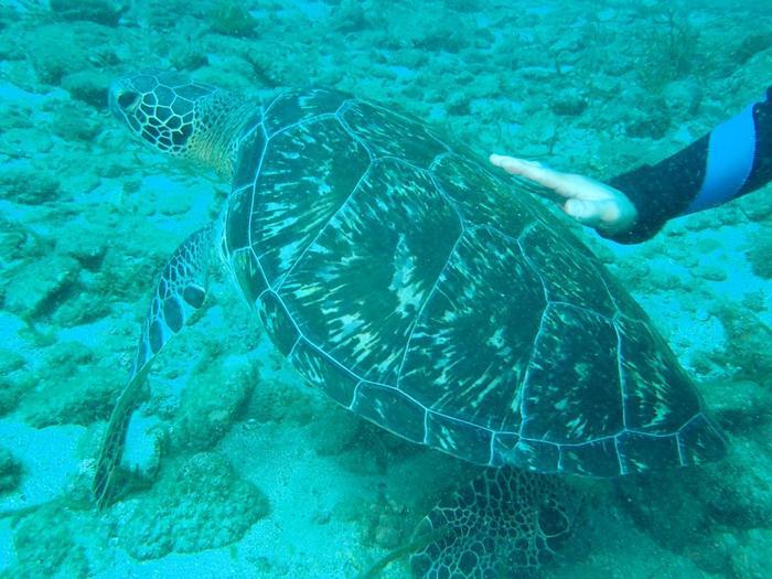 こんなに可愛いカメとのダイビングの体験も出来るかも!! キレイな海でのダイビングも屋久島の魅力の1つです。