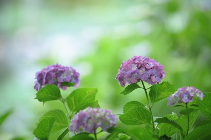 【紫陽花(あじさい)】色が変わる為【七変化】とも呼ばれます。/【短夜(みじかよ)】短い夏の夜のこと。夏至の夜(6月22日頃)は最も短いことから。