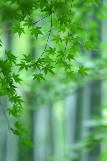 【薄暑(はくしょ)】初夏の5月ごろの暑さのこと。/【夏めく】春の花々が散り、緑が増して、どことなく人や家の装いも夏らしくなる様子をいいます。/【若楓】若葉の楓のこと。初夏のころは特に青々として美しいですね。