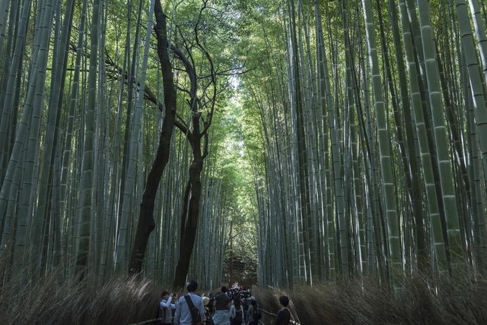 そして秋の頃になると、再び葉を茂らせて新緑の季節がやってきます。「竹の春」とは、秋の季語です。 【画像の撮影は11月下旬。新葉が生い茂った竹林の道。】