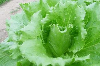 レタスは、適当な大きさにちぎって冷凍保存することができます。ただし食感が悪くなるため、サラダには向きません。チャーハンやスープなど加熱調理の際、凍ったまま使えて便利です。