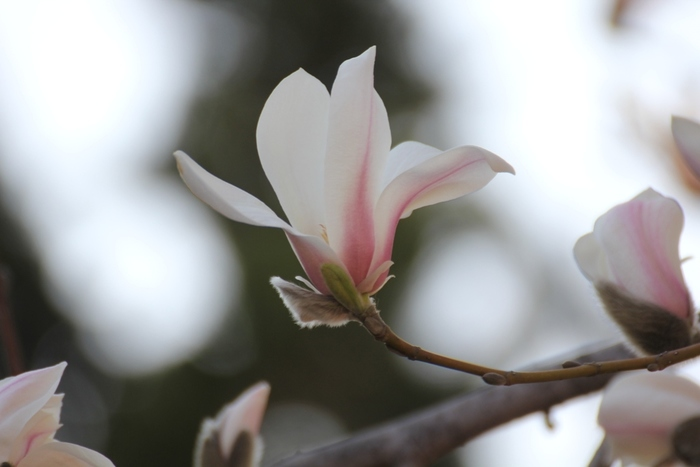 【風光る】日の光の中でやわらかな風が吹き渡るとき、風までが光るように感じられるさまをいいます。/【木蓮】純白と紫の花があり、白い花ははくれんとも呼ばれます。/【春愁(しゅんしゅう)】誰もが春の日の中で心はなやいで見える中、どこかもの悲しく感じることをいいます。