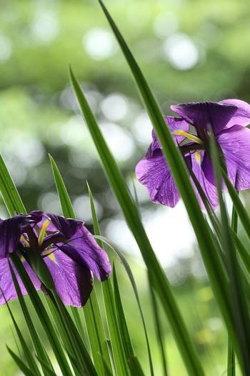 【菖蒲】あやめ。端午の節句(5月5日)にお湯に入れれば心身ともに健やかになると言い伝えられています。5月に詠むなら葉、6月なら花を表すことが多くなります。/【更衣(ころもがえ)】春までの服をしまって夏物にかえること。季節の変わり目を感じます。