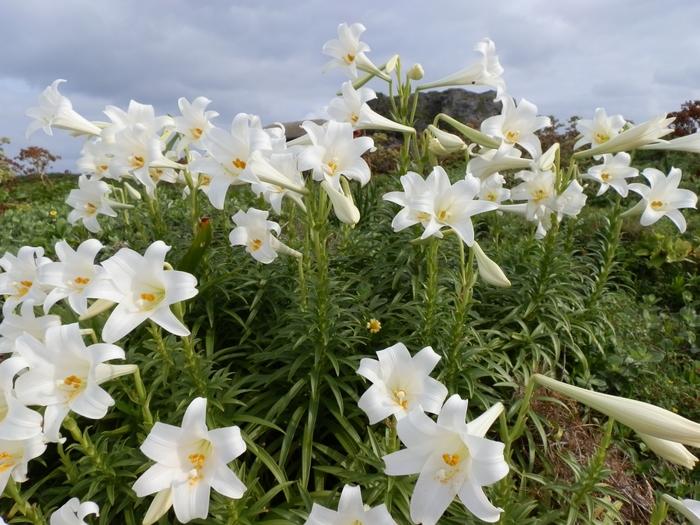 5月にはテッポウユリが岬一帯で咲き、多くの観光客が訪れます。 白の絨毯みたいです☆・。