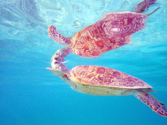 慶良間諸島にある座間味島はウミガメの産卵地としても知られる場所。 慶良間の海にはたくさんのウミガメたちがゆったりと泳いでいます。